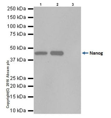 Immunoprecipitation - Anti-Nanog antibody [EPR19646] (ab203919)