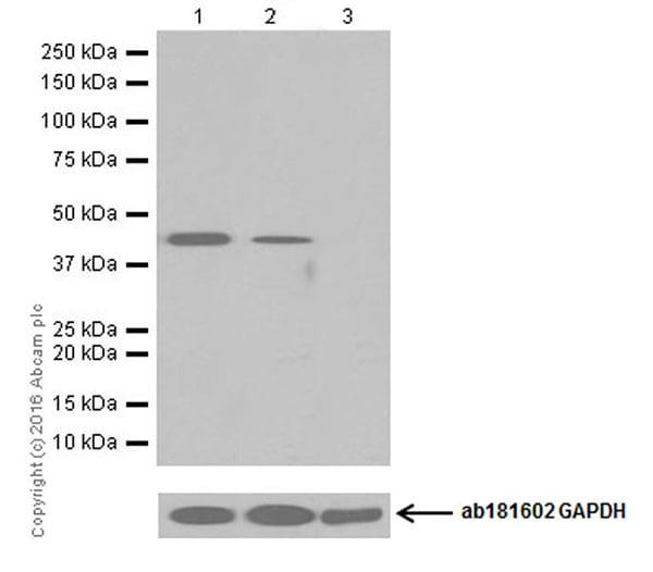 Western blot - Anti-Nanog antibody [EPR19646] (ab203919)