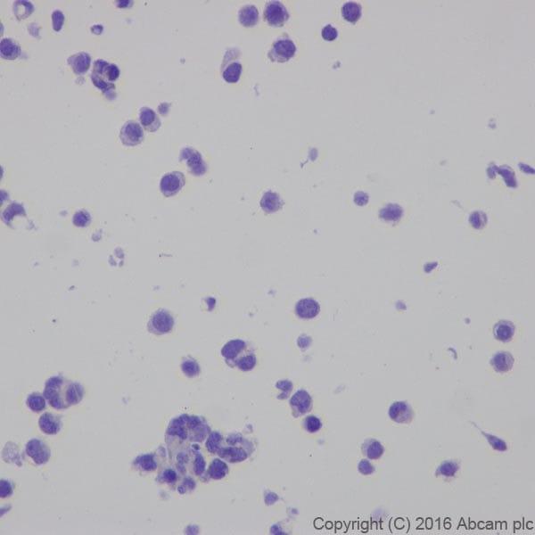 Immunocytochemistry - Anti-CRISPR-Cas9 antibody [EPR19799] (ab203933)