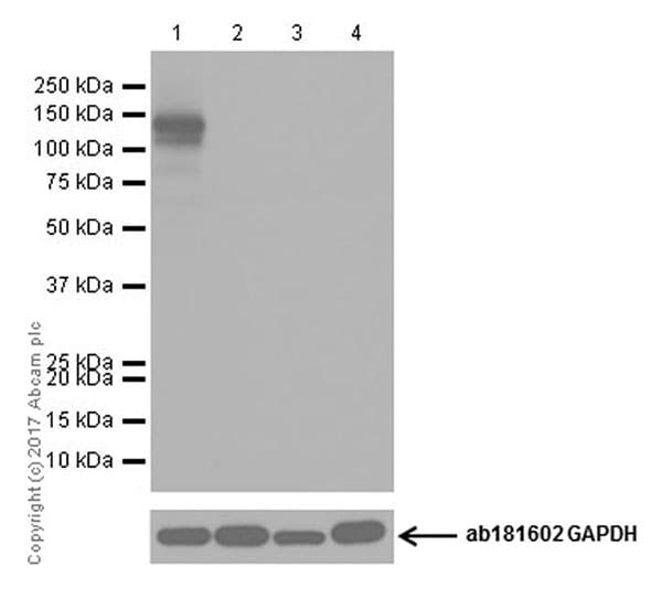 Western blot - Anti-CRISPR-Cas9 antibody [EPR19795] (ab203943)