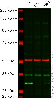 Western blot - Anti-Histone H1.0 antibody [EPR6536] - BSA and Azide free (ab203946)