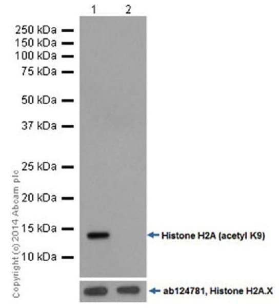 Western blot - Anti-Histone H2A (acetyl K9) antibody [EPR17471] - BSA and Azide free (ab203949)