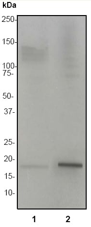 Western blot - Anti-Histone H3 (acetyl K27) antibody [EP865Y] - BSA and Azide free (ab203953)