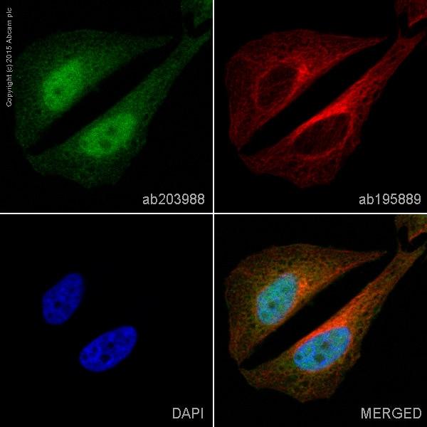 Immunocytochemistry/ Immunofluorescence - Alexa Fluor® 488 Anti-DYNLL1/PIN antibody [EP1660Y] (ab203988)