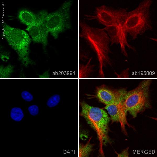 Immunocytochemistry/ Immunofluorescence - Anti-Acetyl Coenzyme A Carboxylase antibody [EPR4971] (Alexa Fluor® 488) (ab203994)