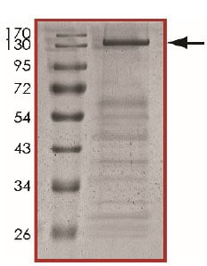 SDS-PAGE - Recombinant human Bcr + Ret protein (ab204103)
