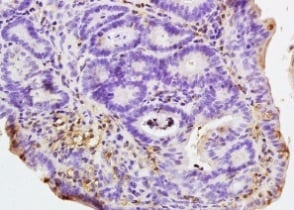 Immunohistochemistry (Formalin/PFA-fixed paraffin-embedded sections) - Anti-NALP4 antibody (ab204111)