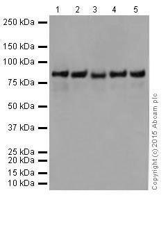 Western blot - Anti-PFKP antibody [EPR17314] (ab204131)