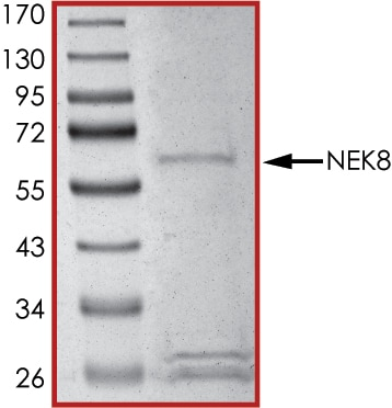 SDS-PAGE - Recombinant human NEK8 protein (ab204141)