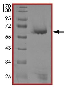 SDS-PAGE - Recombinant human PIM3 protein (ab204146)