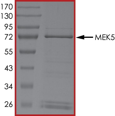 SDS-PAGE - Recombinant human MEK5 protein (ab204150)