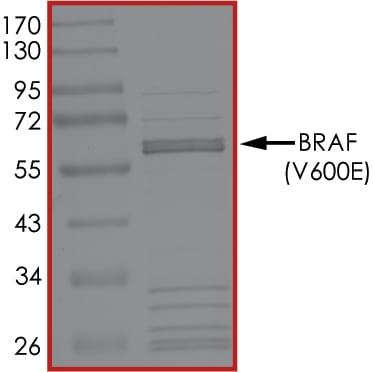 SDS-PAGE - Recombinant human BRAF (mutated V600 E) protein (Active) (ab204154)