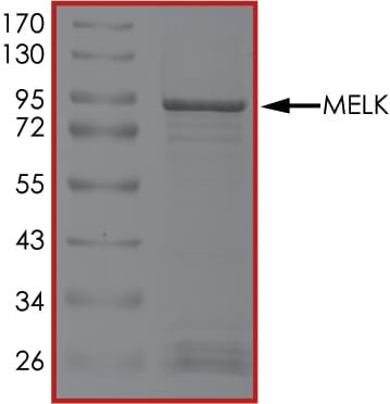 SDS-PAGE - Recombinant human MELK protein (Active) (ab204155)
