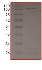 Western blot - Recombinant Human MAPK6/ERK-3 protein (ab204165)