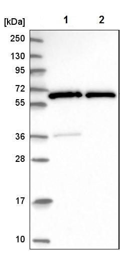 Western blot - Anti-GTF2H1 antibody (ab204168)