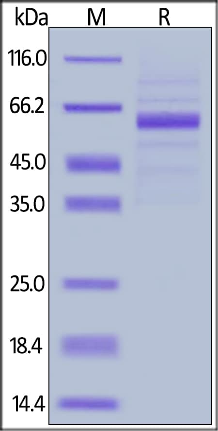 SDS-PAGE - Recombinant Human LSECtin protein (Fc fragment) (ab204209)