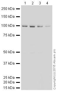 Western blot - HRP Anti-VCP antibody [EPR3307(2)] (ab204290)