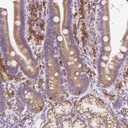 Immunohistochemistry (Formalin/PFA-fixed paraffin-embedded sections) - Anti-DDOST antibody (ab204314)