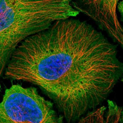 Immunocytochemistry/ Immunofluorescence - Anti-PLCD4 antibody (ab204316)