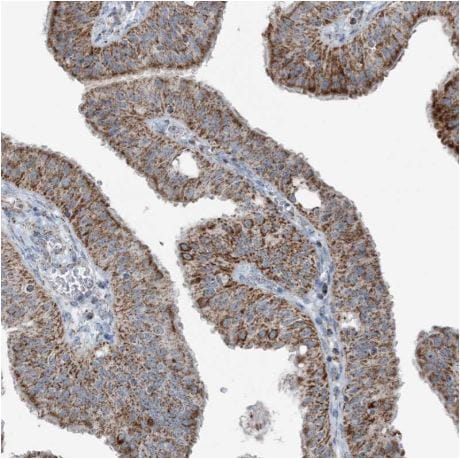 Immunohistochemistry (Formalin/PFA-fixed paraffin-embedded sections) - Anti-SUCLG1 antibody (ab204432)