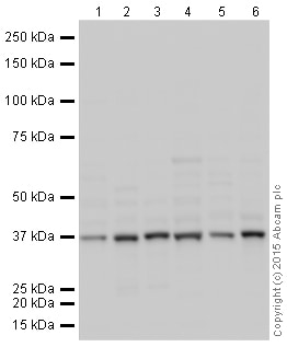 Western blot - Anti-GAPDH antibody [EPR16884] - Loading Control (HRP) (ab204481)