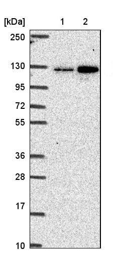 Western blot - Anti-CGNL1/Paracingulin antibody (ab204500)