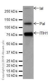 Western blot - Anti-ITIH1/SHAP antibody [EPR17138-29] (ab204513)