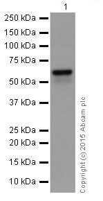Western blot - Anti-alpha 1 Antichymotrypsin antibody [EPR17088] (ab204514)