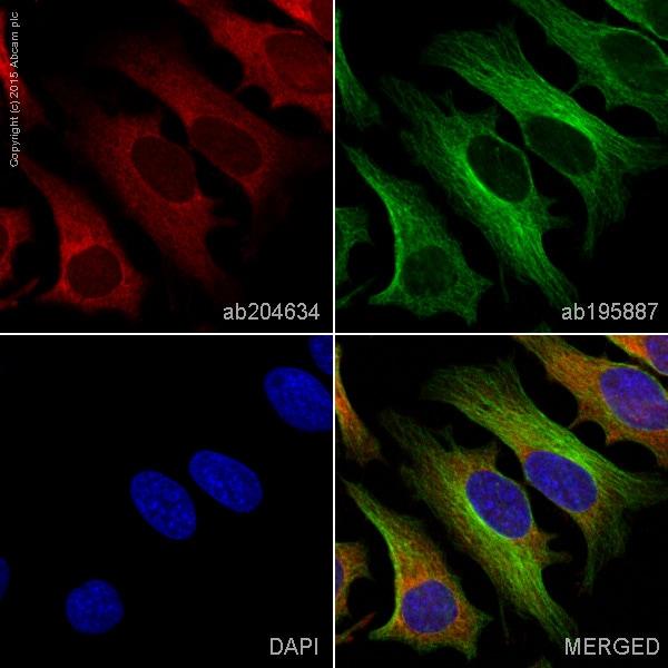 Immunocytochemistry/ Immunofluorescence - Anti-PKC alpha antibody [Y124] (Alexa Fluor® 647) (ab204634)