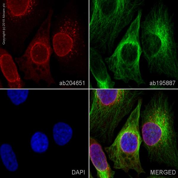 Immunocytochemistry/ Immunofluorescence - Alexa Fluor® 647 Anti-RanGAP1 antibody [EPR3295] (ab204651)