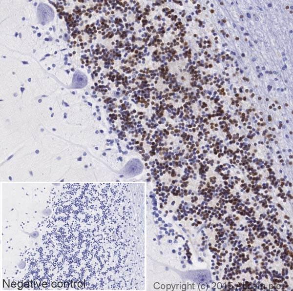 Immunohistochemistry (Formalin/PFA-fixed paraffin-embedded sections) - Anti-NeuN antibody [EPR12763] (Biotin) (ab204681)