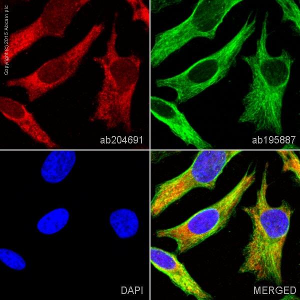 Immunocytochemistry/ Immunofluorescence - Anti-Hsp70 antibody [EPR16892] (Alexa Fluor® 647) (ab204691)