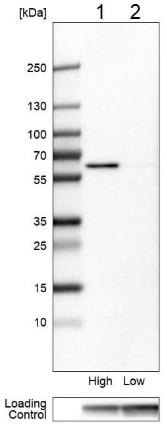 Western blot - Anti-BAF60C antibody (ab204745)