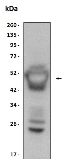 Western blot - Recombinant Human Flt3 ligand/Flt3L protein (ab204771)