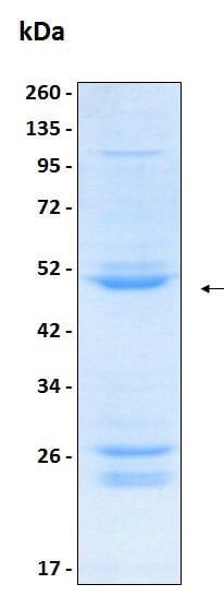 SDS-PAGE - Recombinant Human Flt3 ligand/Flt3L protein (ab204771)