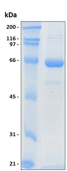SDS-PAGE - Recombinant Human MEF2A protein (ab204772)