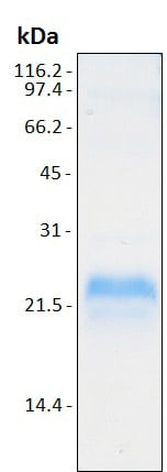 SDS-PAGE - Recombinant Human VEGFA protein (ab204773)