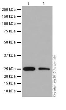Western blot - Anti-Factor D/CFD antibody [EPR14699] (ab204917)