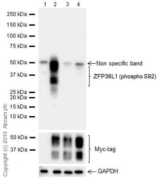 Western blot - Anti-ZFP36L1 (phospho S92) antibody [EPR19926] (ab204922)