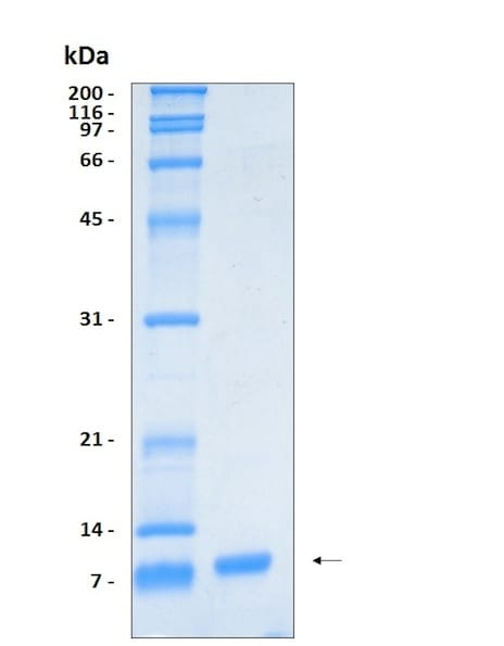 SDS-PAGE - Recombinant Human IL-8 protein (ab204932)