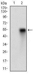 Western blot - Anti-CD38 antibody [5C5C3] - Extracellular domain (ab204940)