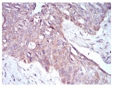 Immunohistochemistry (Formalin/PFA-fixed paraffin-embedded sections) - Anti-PKHD1 antibody [8G12A1] (ab204951)