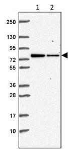 Western blot - Anti-ZNF471/ERP1 antibody (ab204974)