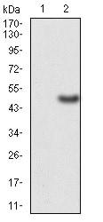 Western blot - Anti-ERCC1 antibody [1E5B3] (ab204988)