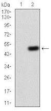 Western blot - Anti-G protein alpha S antibody [2A2B7] (ab204996)