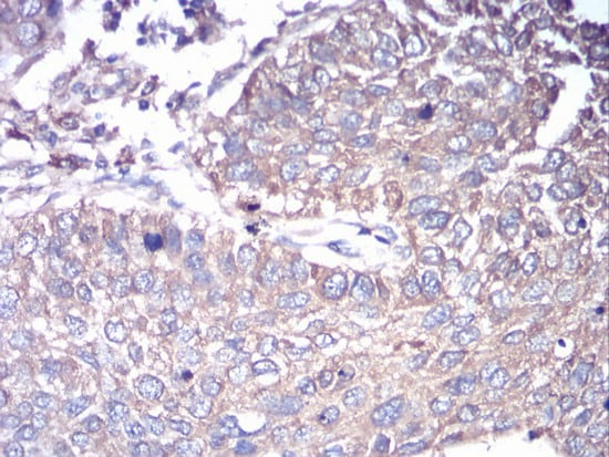 Immunohistochemistry (Formalin/PFA-fixed paraffin-embedded sections) - Anti-G protein alpha S antibody [2A2B7] (ab204996)