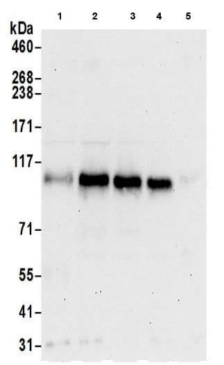 Western blot - Anti-UNK unkempt antibody (ab205021)