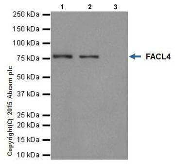 Immunoprecipitation - Anti-FACL4 antibody [EPR17587-42] (ab205199)