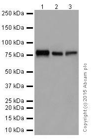 Western blot - Anti-FACL4 antibody [EPR17587-42] (ab205199)
