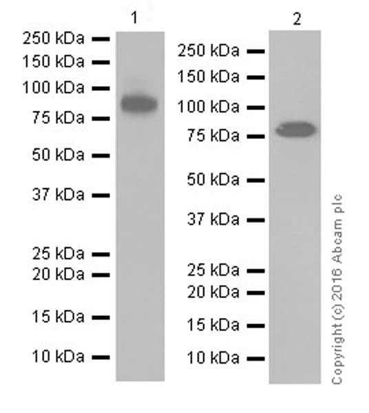 Western blot - Anti-Mitofusin 2 antibody [EPR19796] (ab205236)
